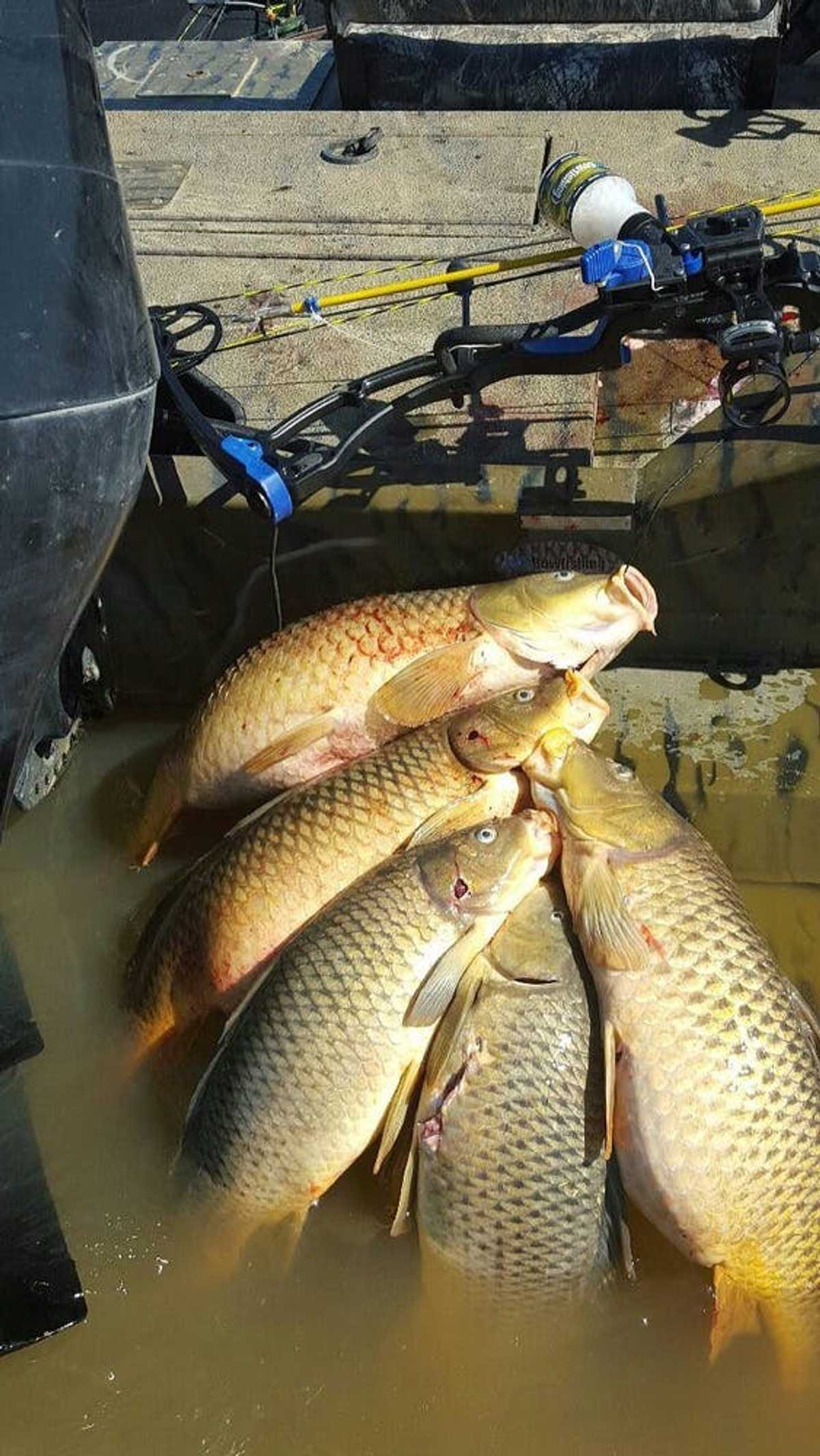 Carps from bowfshing on Kentucky Lake strung up